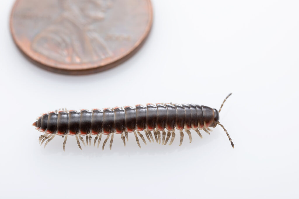 The millipede Nannaria hokie that was discovered on the campus of Virginia Tech